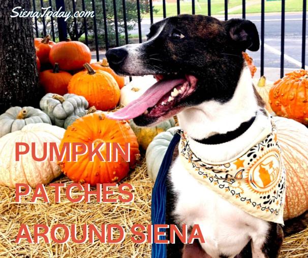 Siena Pumpkin Patches