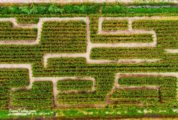 Corn Maze (1)